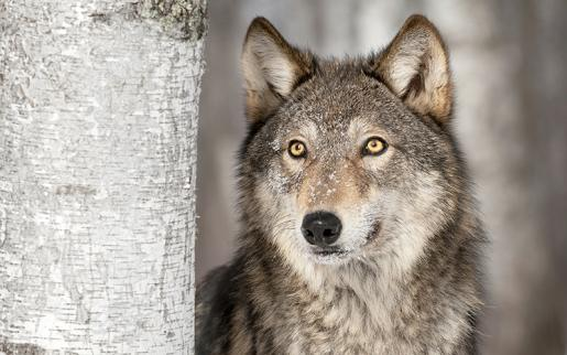 Trent Researchers use Genomics to Clarify Evolutionary Origins of Wolves and Coyotes