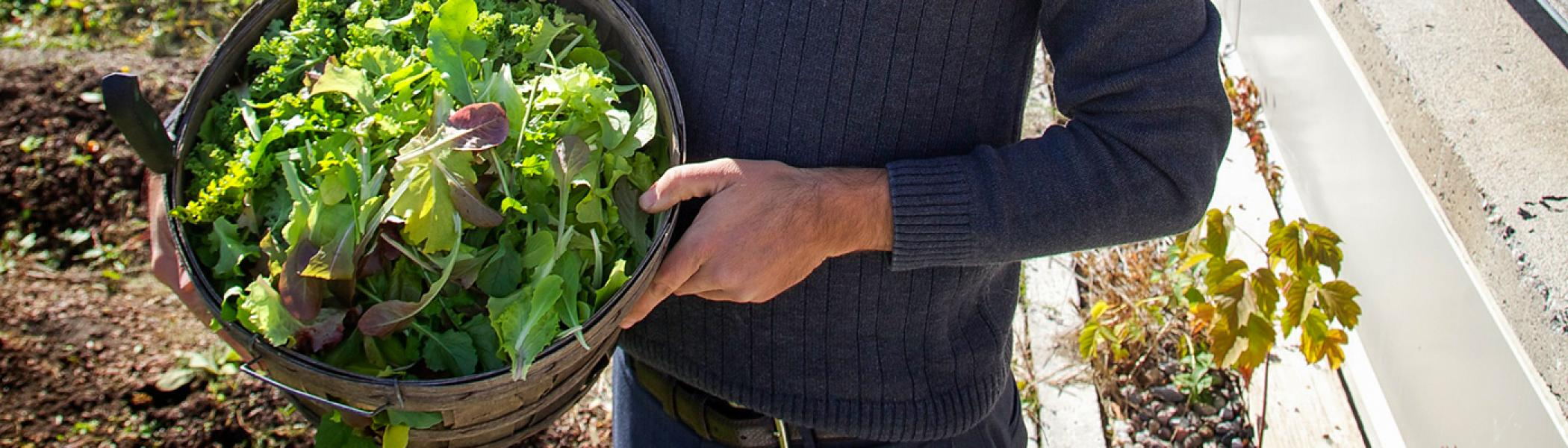 Male hands holding a wicker basket of freshly picked greens on the rooftop garden in the summer sun