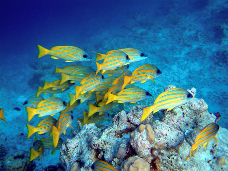 Picture of yellow and blue striped fish