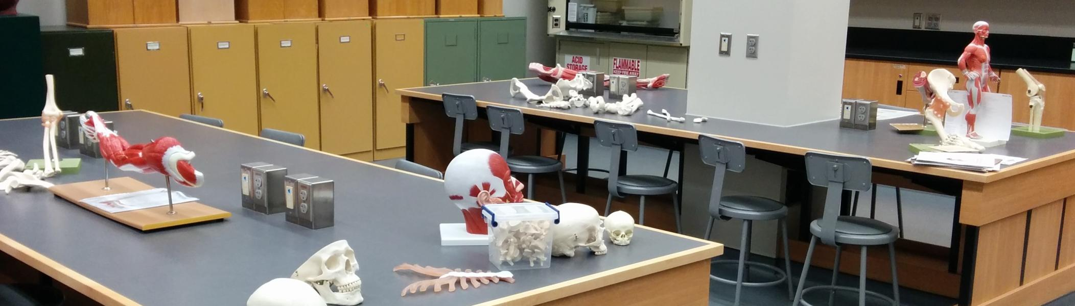 Biology lab showing 2 lab benches with an assortment of human bone replicas, joint models, and a small human form showing muscle groups