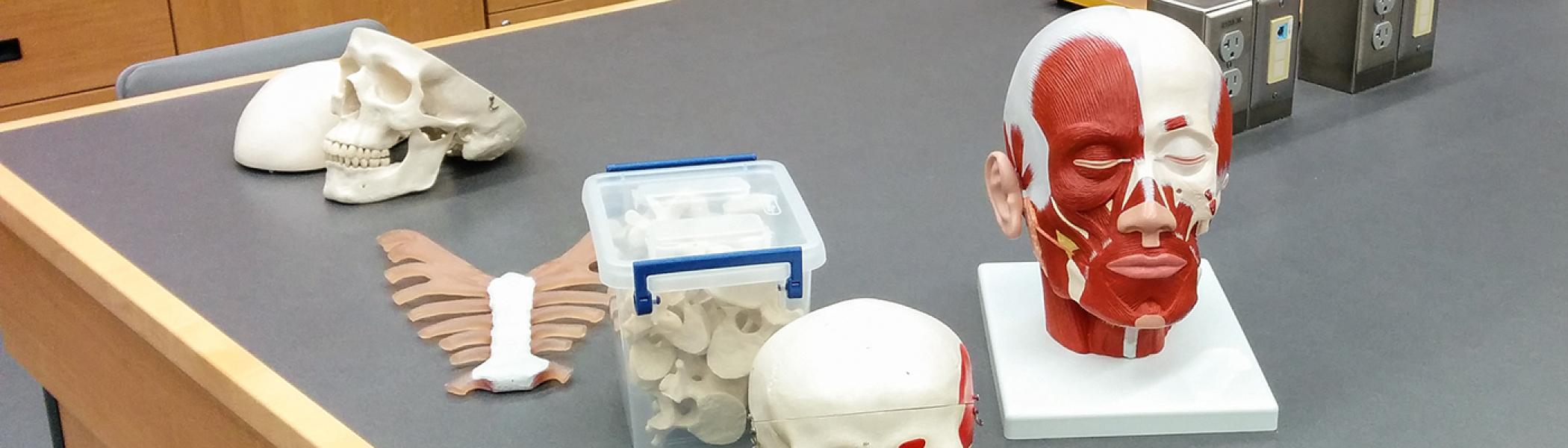 Blanched skulls and a dummy human head on a work bench