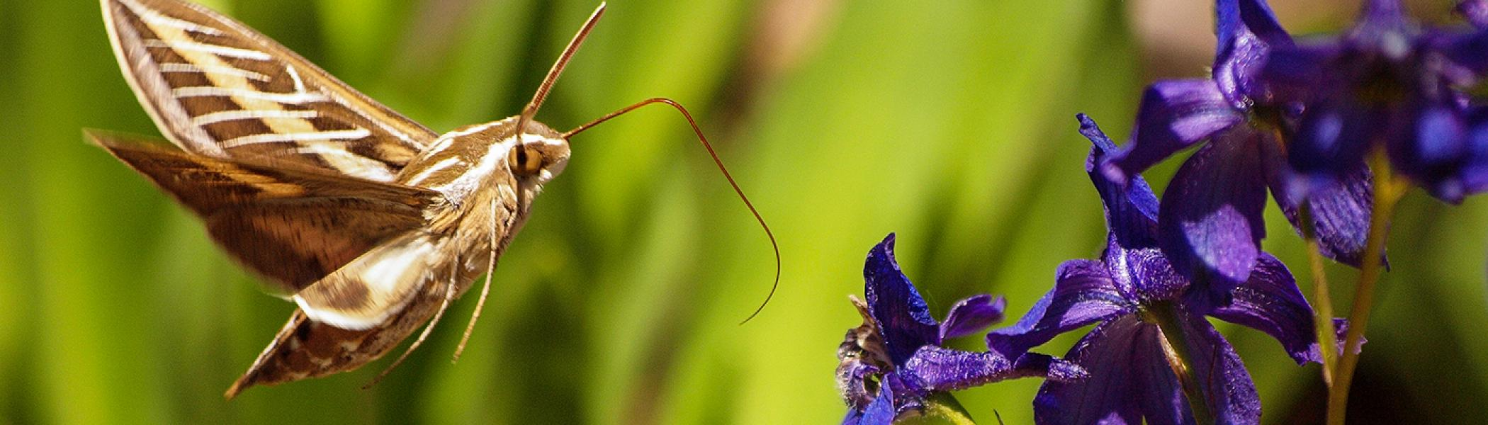 A brown moth flying towards a purple flower