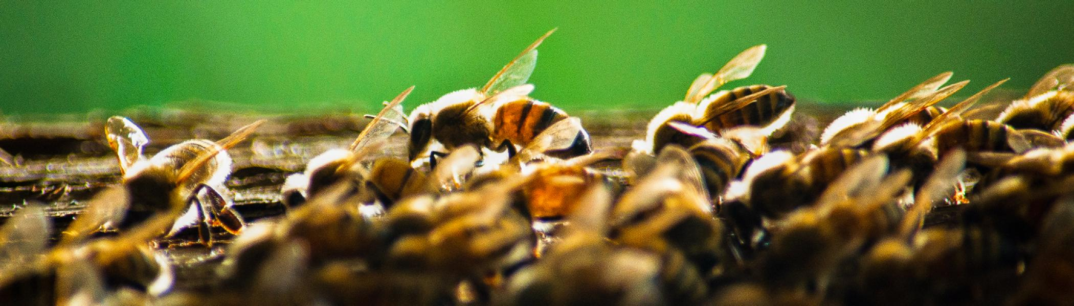 A closeup view of bees on a hive against a blurry green background