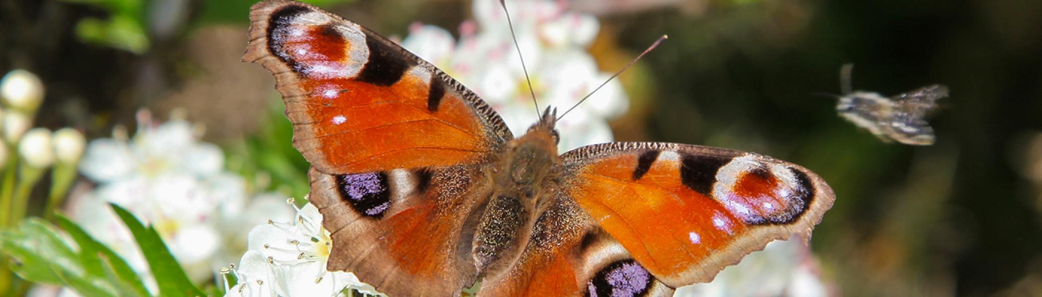 An orange butterfly sitting on a white flower
