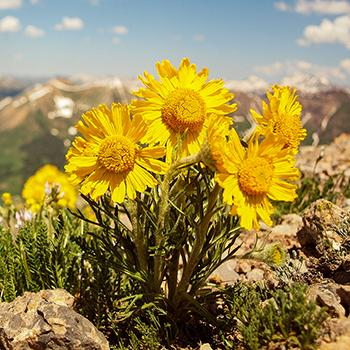 Yellow flowers growing in front of a mountain range in the summer sun