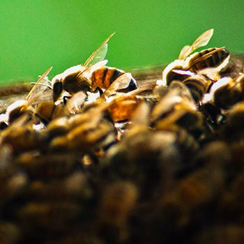 Close-up of the surface of a honeycomb with honey bees walking on it in front of a dark green background