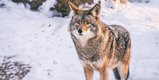 A closeup view of a coyote in the snow