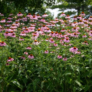 A field of pink flower