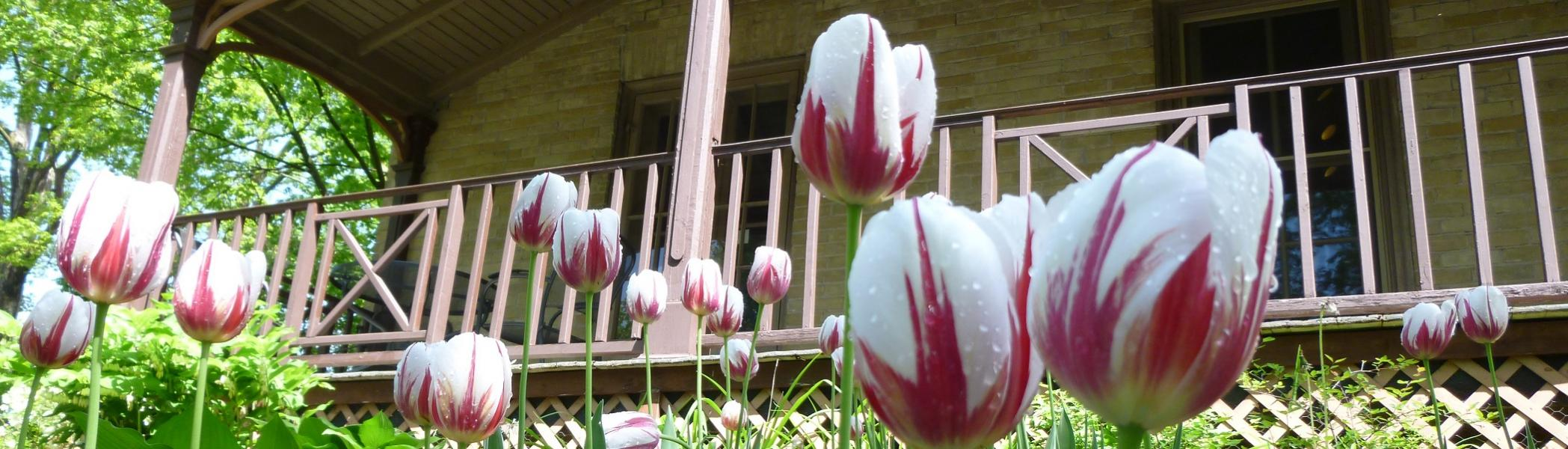 Canada 150th birthday tulips in garden outside Kerr House, Traill College