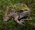 Image of unknown frog