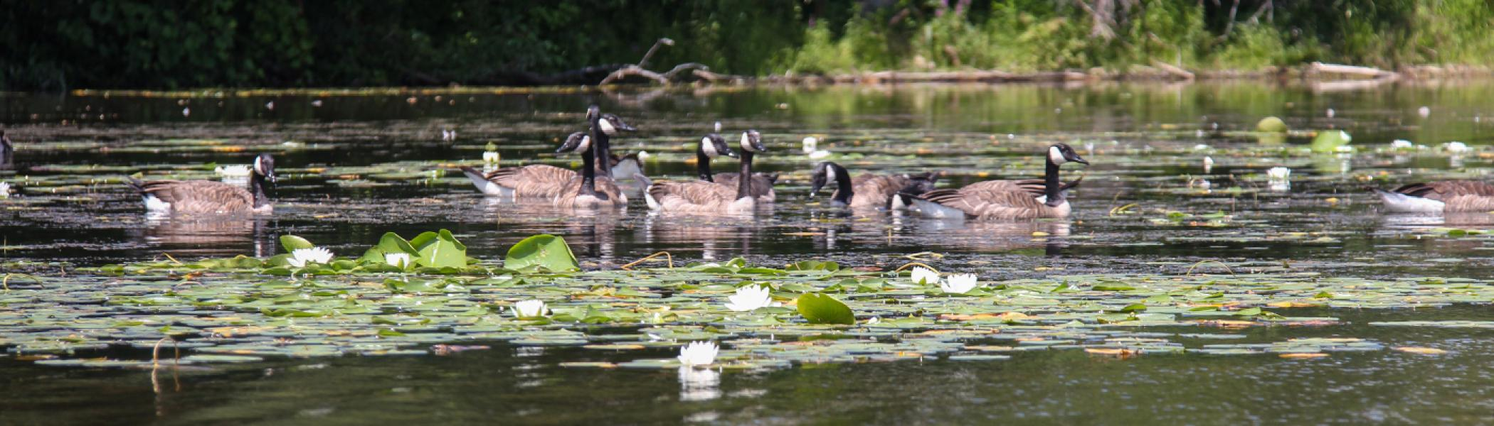 A group of canada geese swimming in a river surrounded by lilly pads
