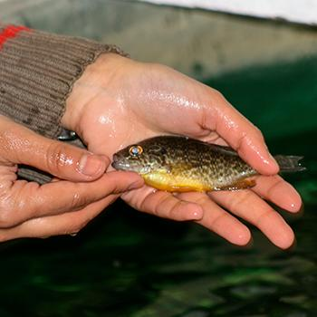 A small green fish in a pair of hands, resting just above some water