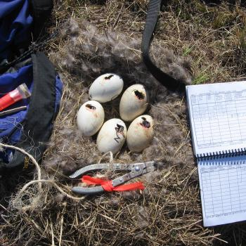 nest with 5 eggs cracked and field equipment and logbook beside eggs for recording data