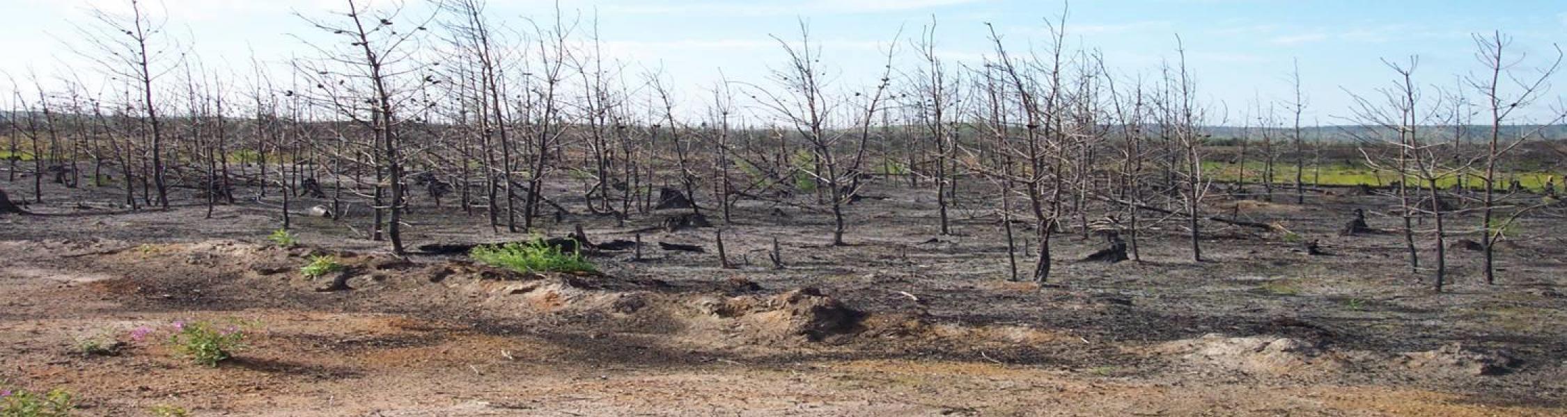 field of barren trees
