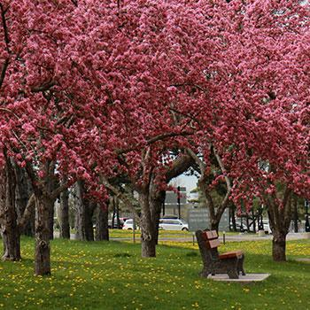Trees blossoming on a spring day at Trent's Symons campus