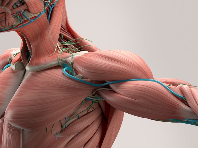 Graphic image of skeletal muscle of the shoulder and torso