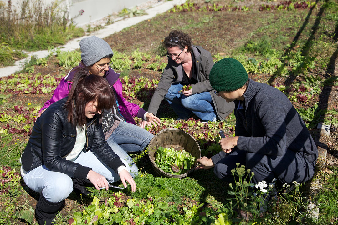 Sustainable Agriculture students working in Trent's Rooftop gardens