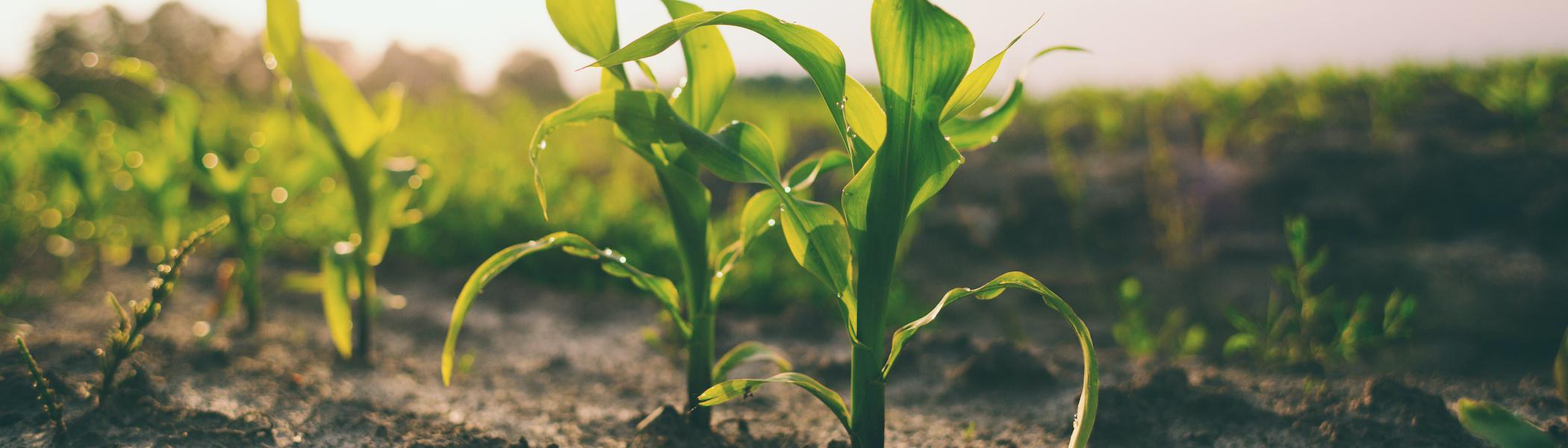 Crops sprouting up from the dirt.