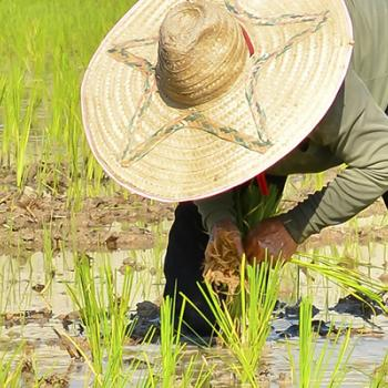 A farmer bent over in a rice field with a big straw hat on