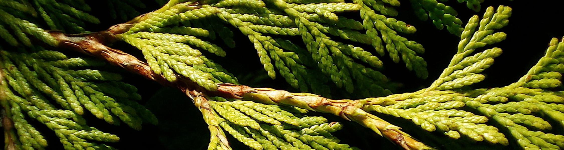 close up photo of evergreen tree branch