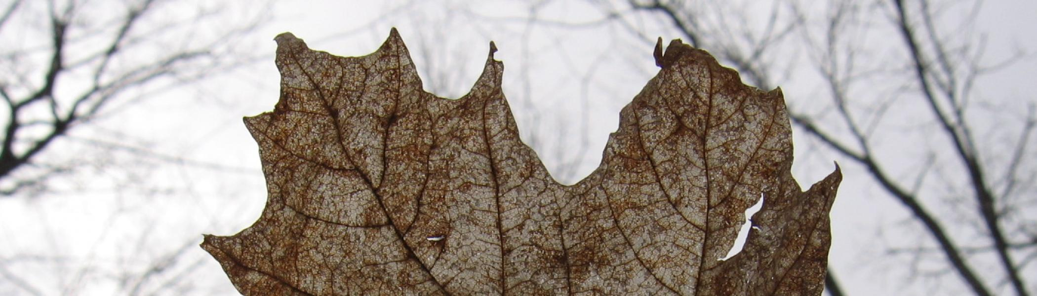 close up view of maple leaf with sky and trees in back ground