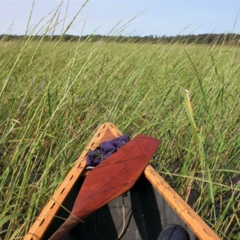 an image of the tip of a canoe in a rice bed