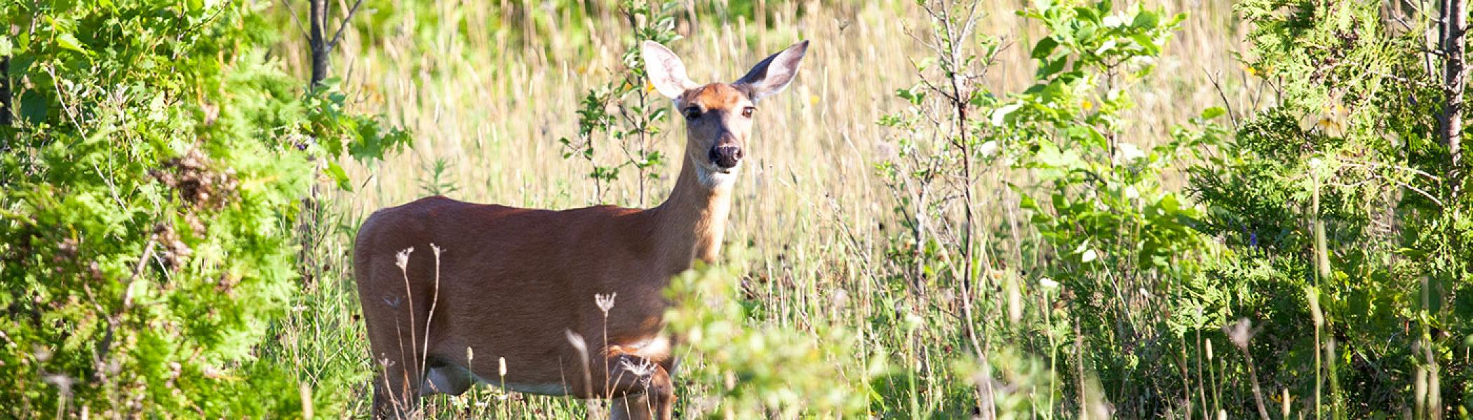 image of a deer staring into the bush in Trent's nature areas
