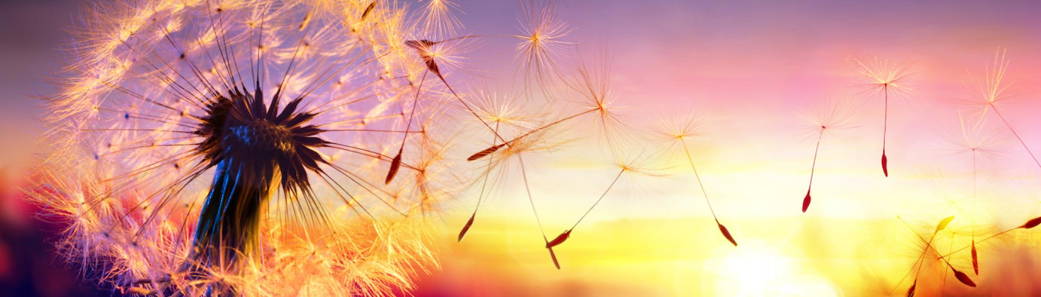 Dandelion blowing in the wind with a sunset in the background