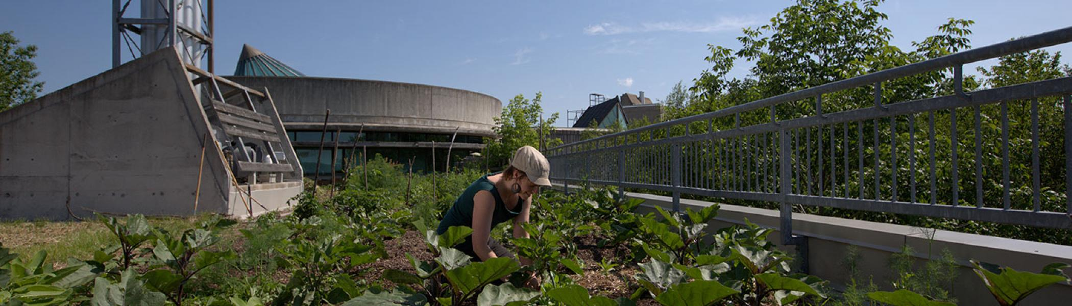 Student working on the rooftop garden above the Chemical Sciences Building